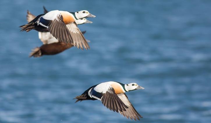 Stellers eider duck