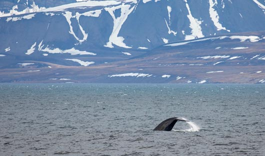 Quark Only Whale breach. Image Credit Michelle Sole