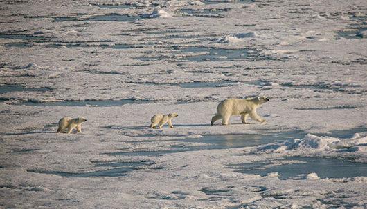 Polar Bears at the North Pole
