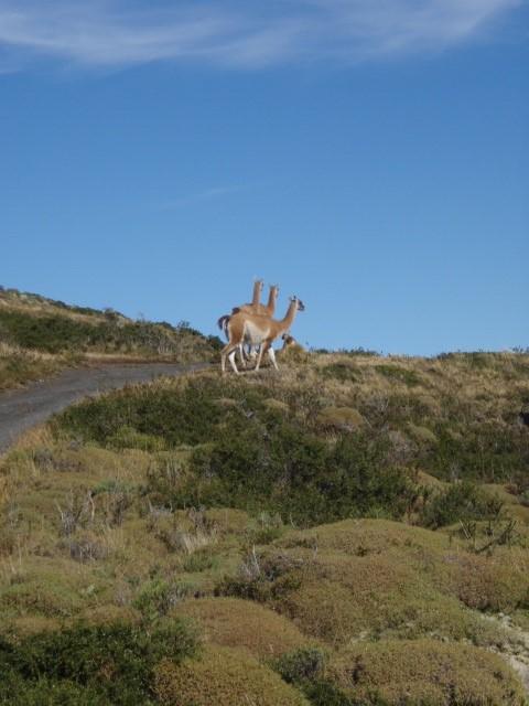 Antonio Gray - Torres Del Paine - Rare Species - 3 Headed, 6 Legged Llama