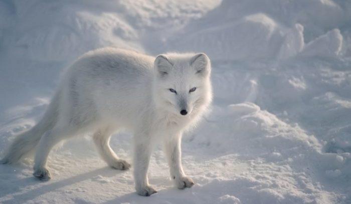 Arctic Fox SS resize