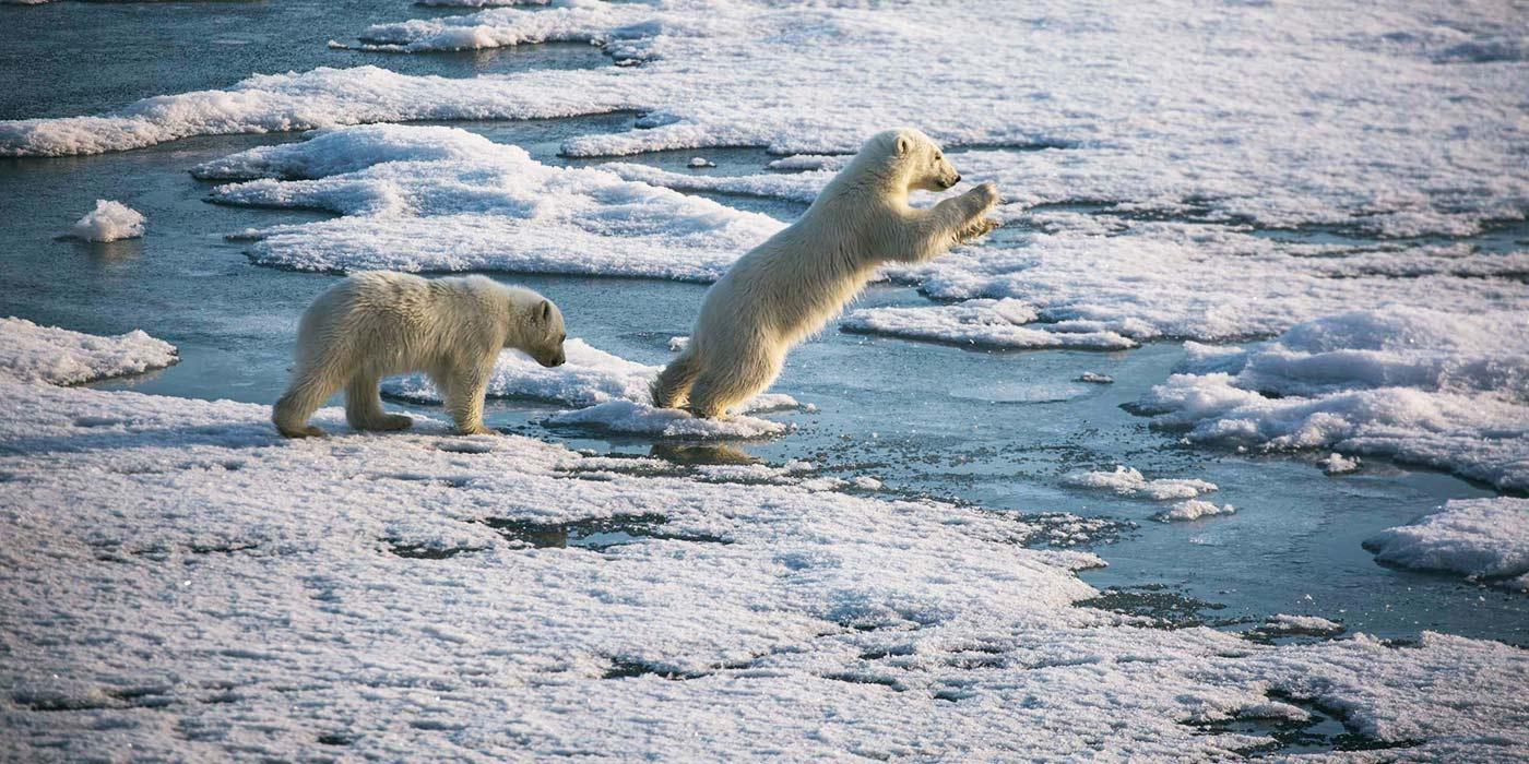 Poseidon Only - Polar Bear Cubs