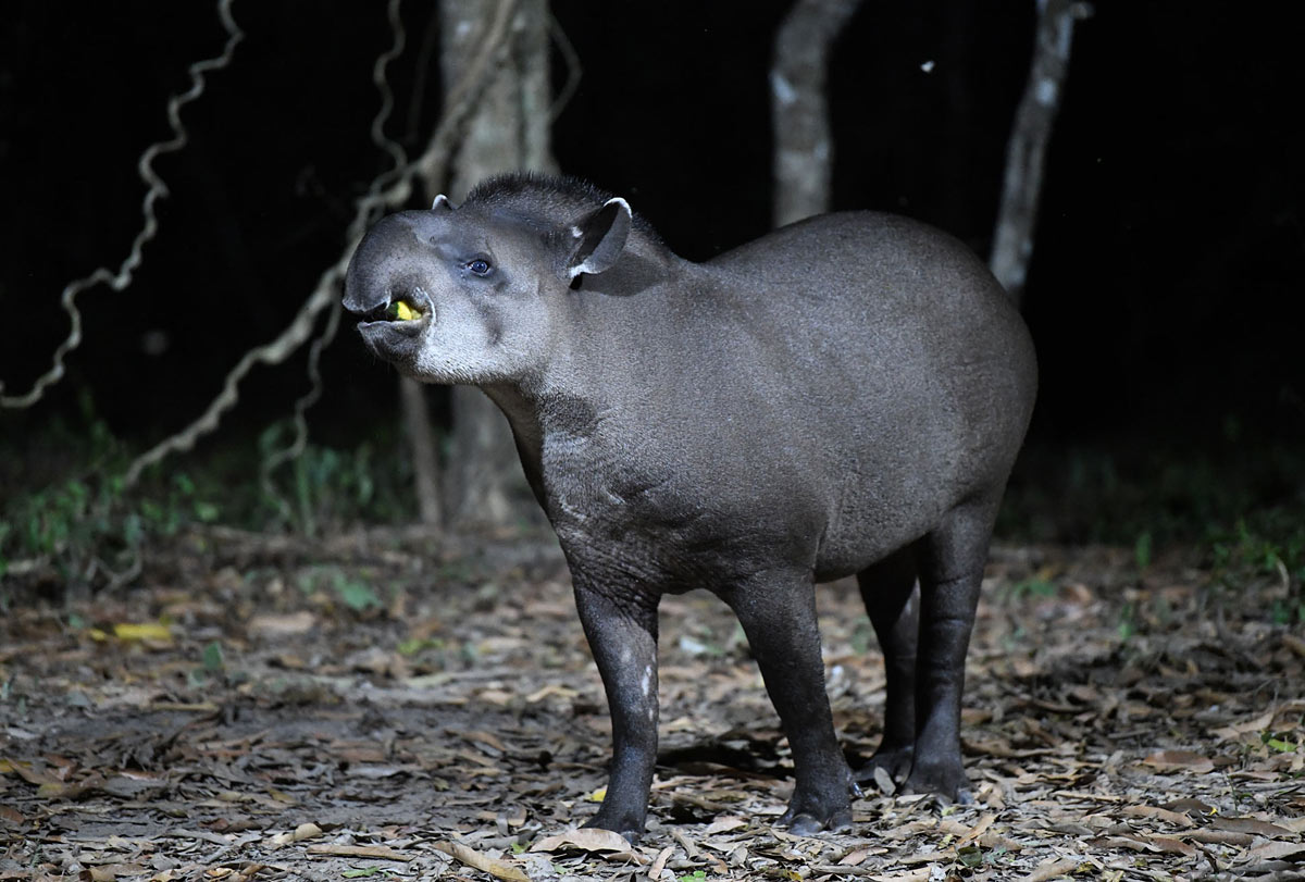 Tapir in the Pantanal, Alex Burridge