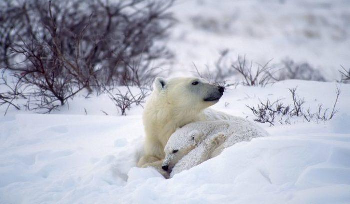 Polar Bears, Baffin Island