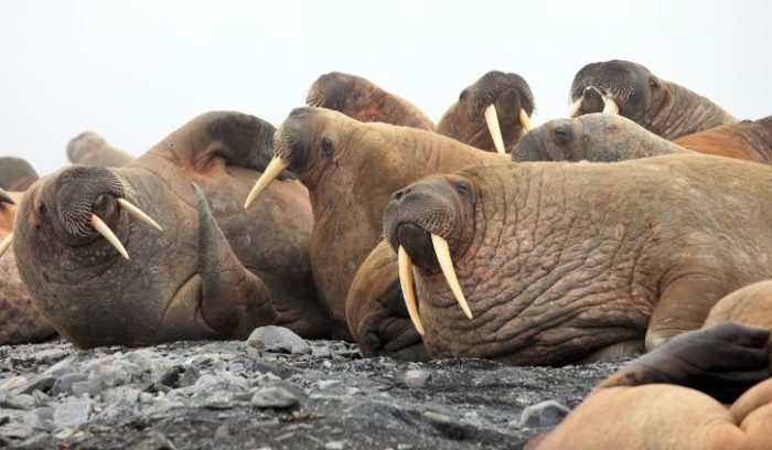 shutterstock_121449835 walrus svalbard
