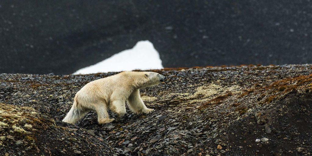 Polar Bear Silversea