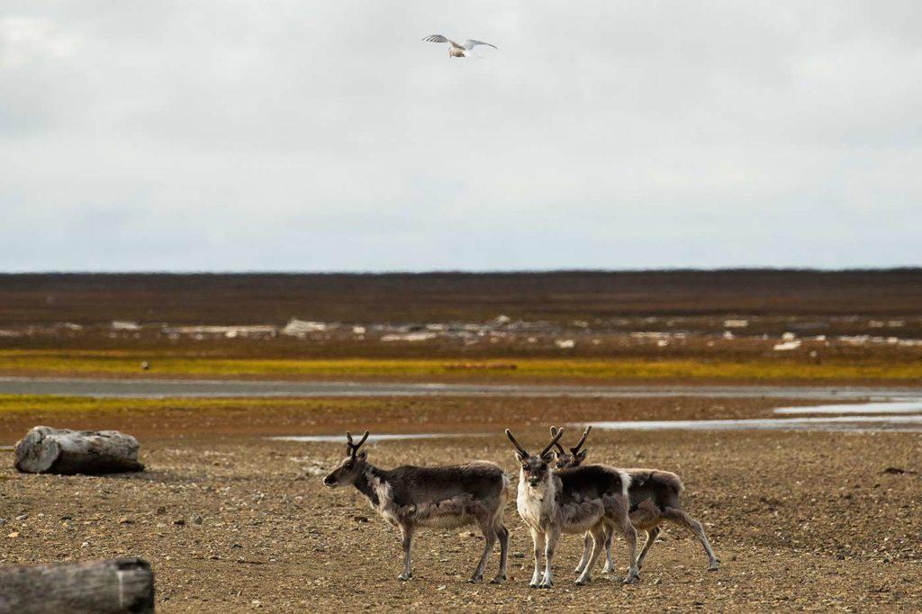 Silversea - Poolepynten, Reindeer