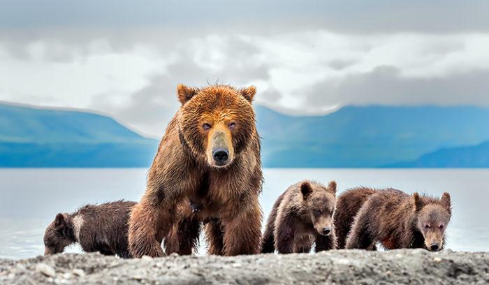 Bears Kamchatka, Russia