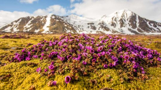 Spitsbergen Flowers