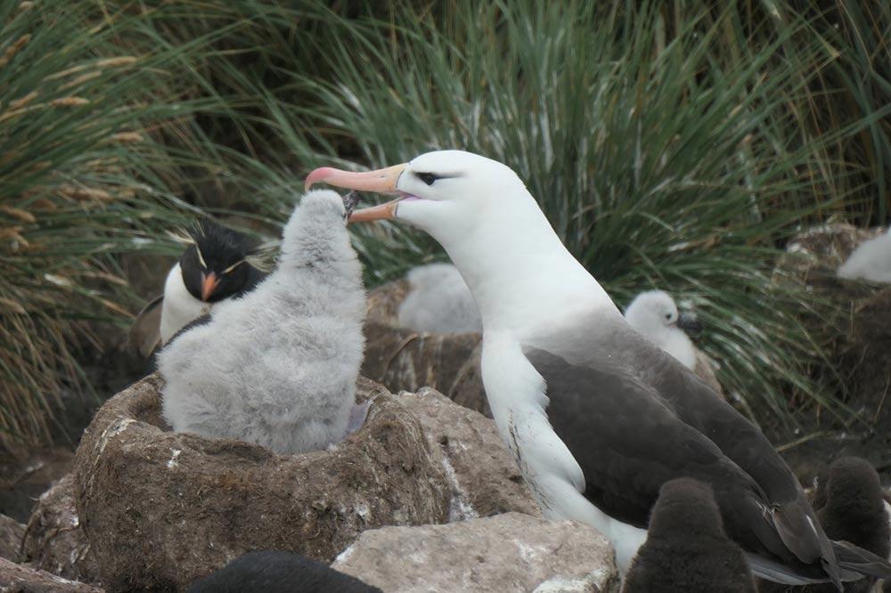 Albatross Feeding its Chick by Doug Cavaye
