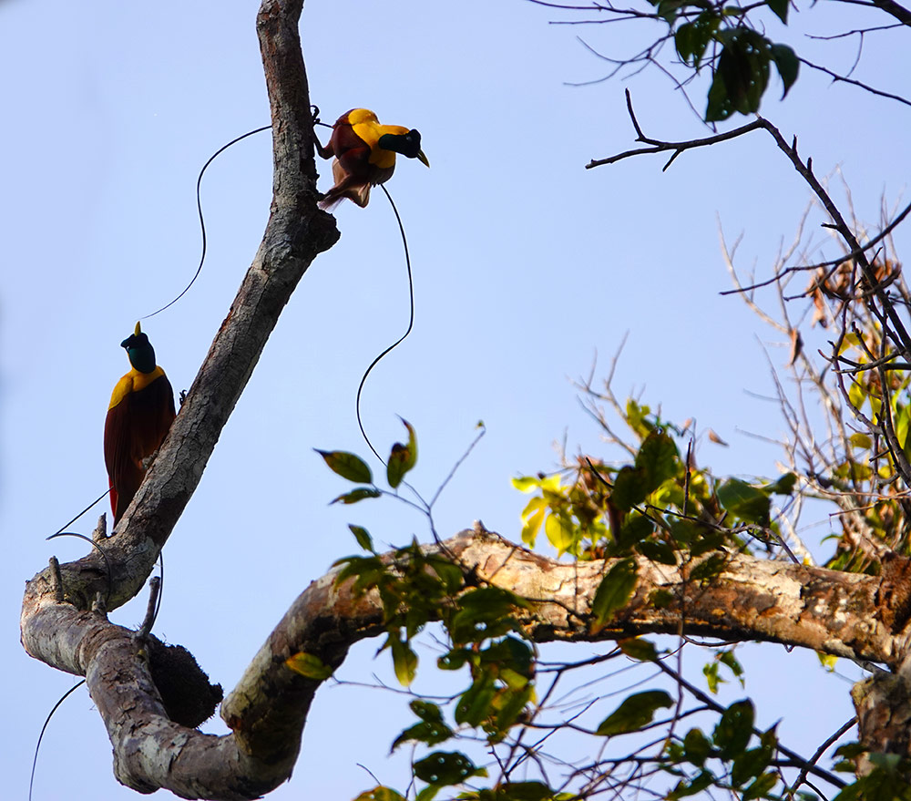 Birds of Paradise by Jennifer Boyd
