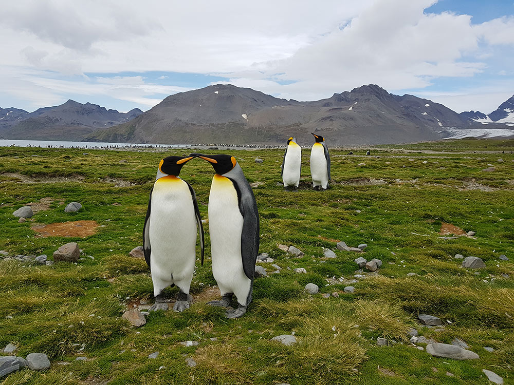 King Penguins at Salisbury Plain, South Georgia by Gina Kikos