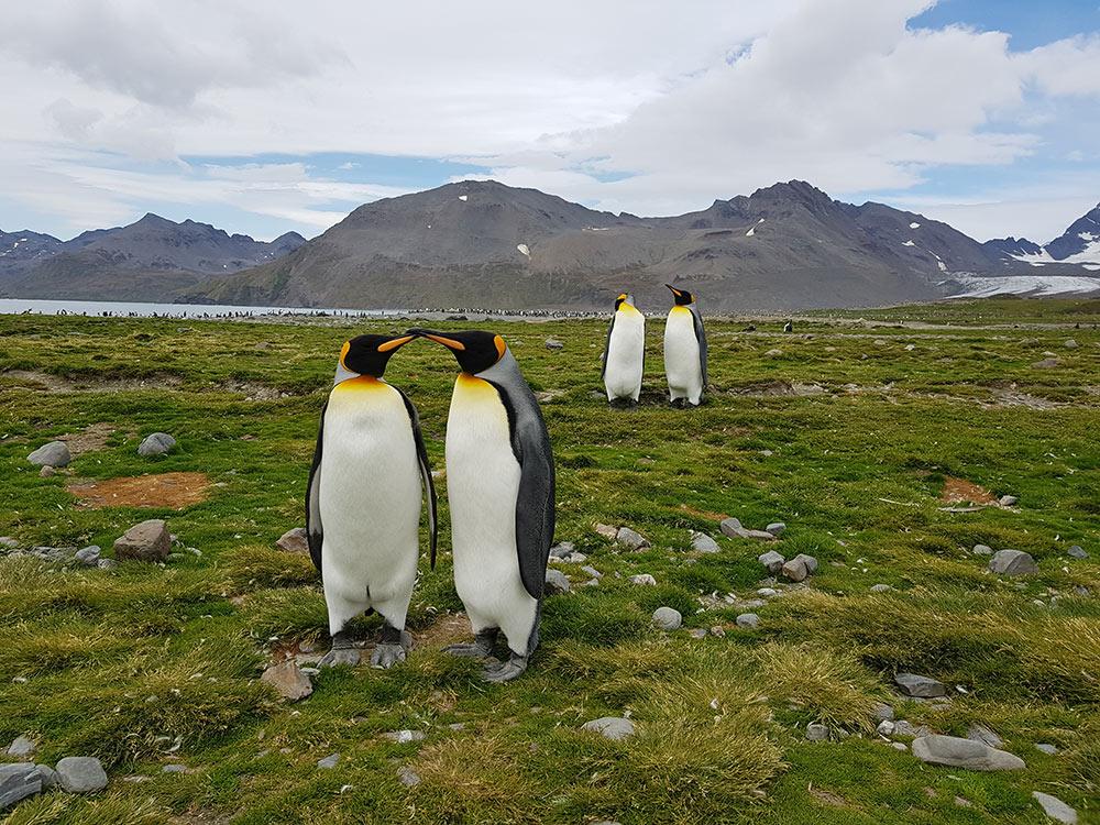 King Penguins at Salisbury Plain, South Georgia by Gina Kikos