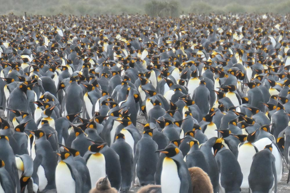 King Penguins at Salisbury Plain by Lisa Cayave
