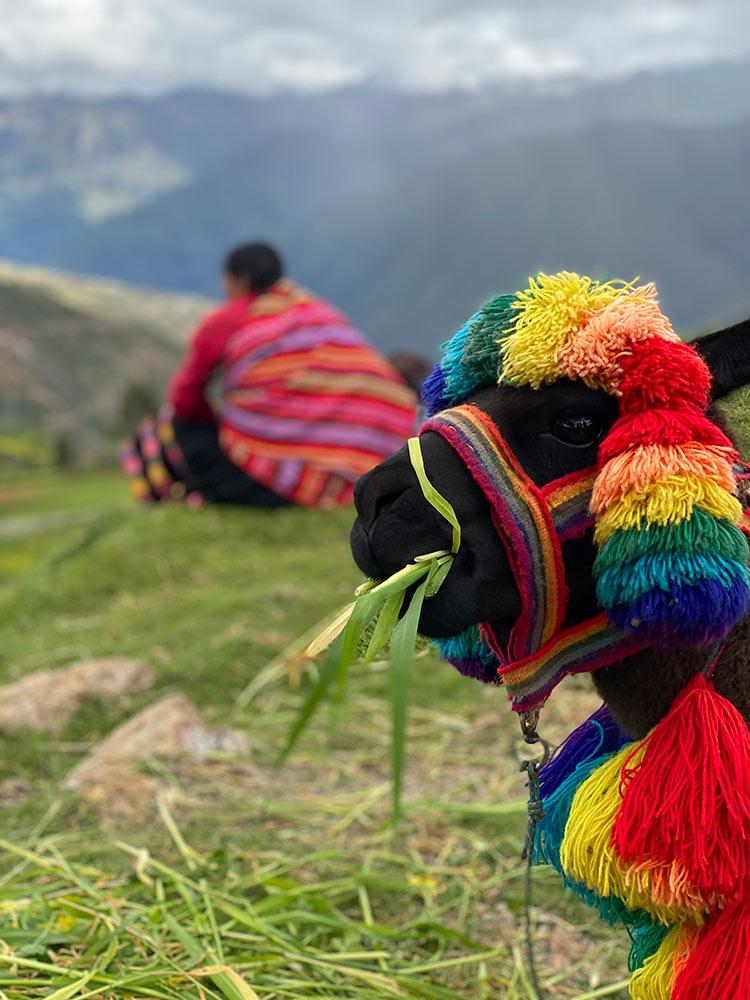Side Profile of a Llama by Jane Keenan
